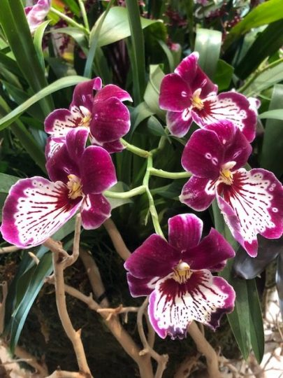 Be surrounded by beauty at the Chicago Botanic Garden Orchid show (J
