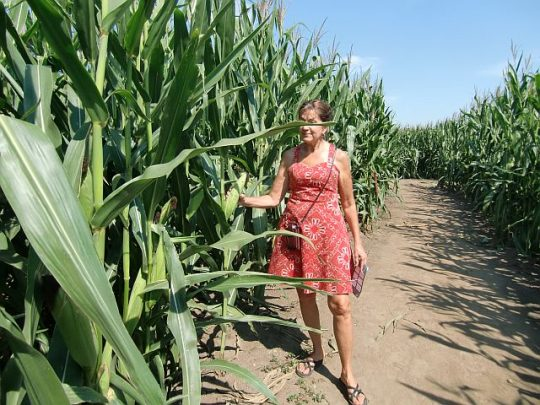 How high the corn is at the Richardson Adventure Farm can be seen in adult inches. (J Jacobs photo)